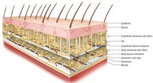 Superficial fascia